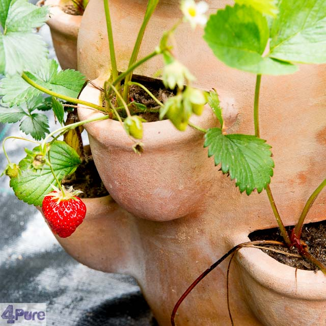 Aardbeien in de tuin - strawberries in the garden