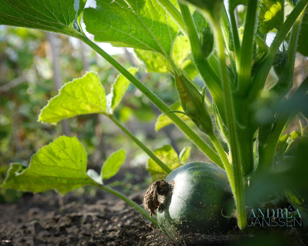 Watermeloen kweken