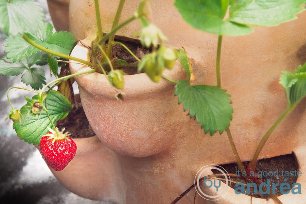 Strawberry plants in the garden